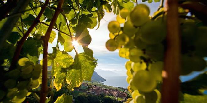 швейцарские виноделы Морж Морж (город в Швейцарии) shvejtsarskie vinodely
