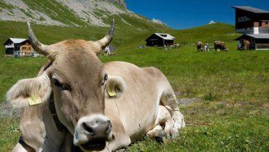 Photo of Что предлагает «Инициатива о рогатой корове»?