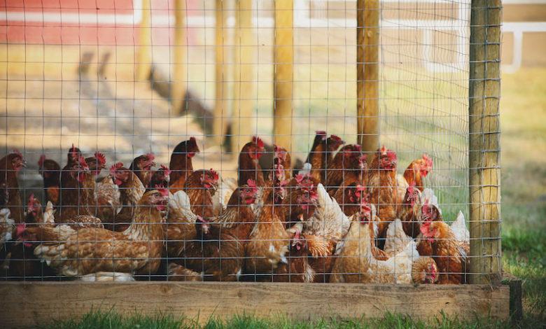 курятина ЕС антибиотики